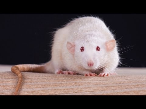 Facts & Myths | Pet Rats