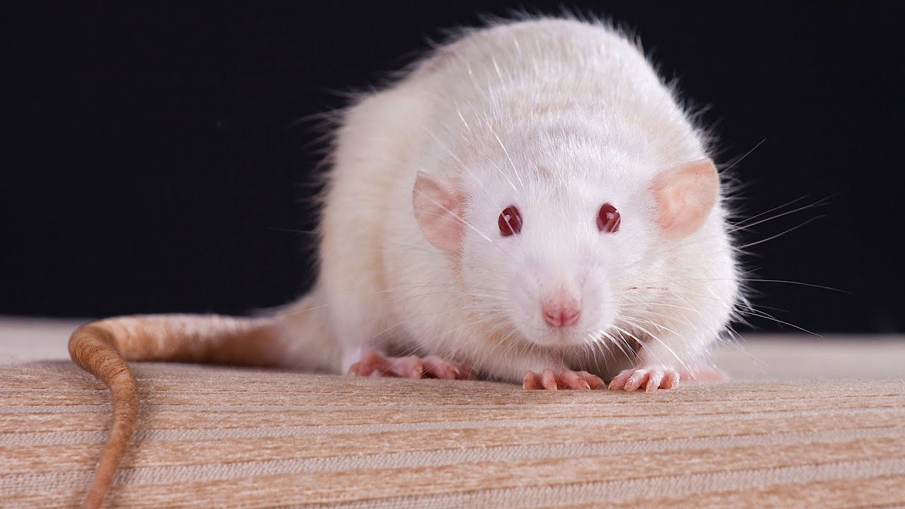 Fancy rats as pets - photo#13