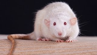 Rats And Mice Stock Images RoyaltyFree   Shutterstock