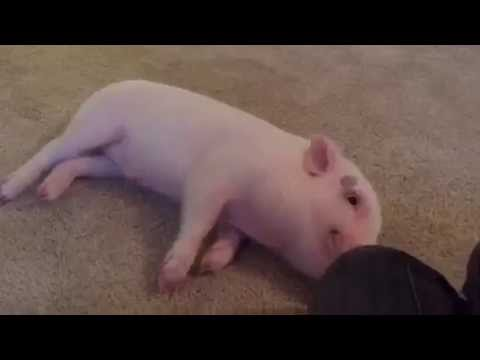 Pickle the Mini Pig Slides in for a Belly Rub!