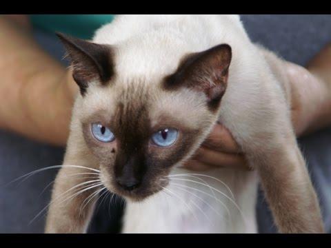 Siamese cats Thailand