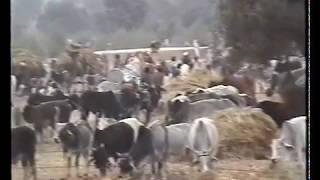 1997 - India - Mucche indiane a go go...ovunque..animali su supegreen