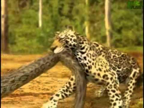 Animal Face Off Anaconda vs Jaguar - YouTube