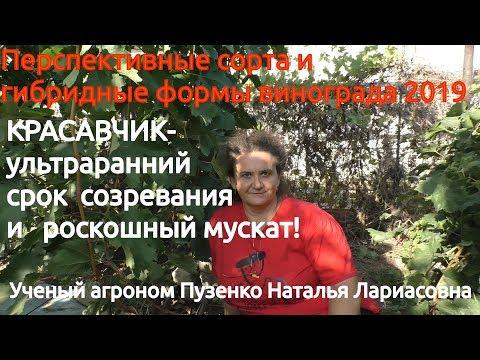 Виноград Красавчик- янтарный, ультраранний с мускатом!!! Писанки О.М. (Пузенко Н. Л.)