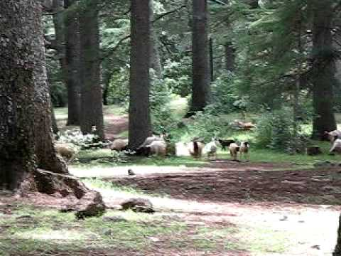 Goats in national park outside of Ifrane, Morocco
