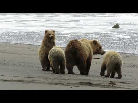 Bears taking a synchronized bathroom break