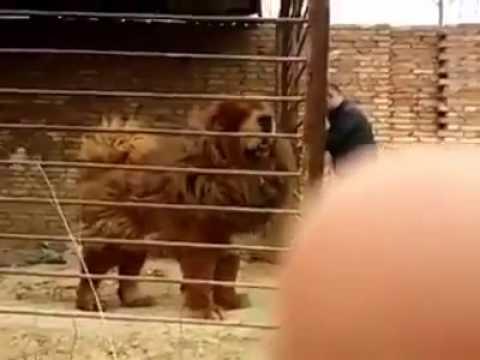 Huge Tibetan Mastiff
