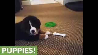 Playful puppy totally confused by toy bone