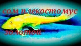 Аквариумные рыбки.Сом Плекостомус. Золотой.