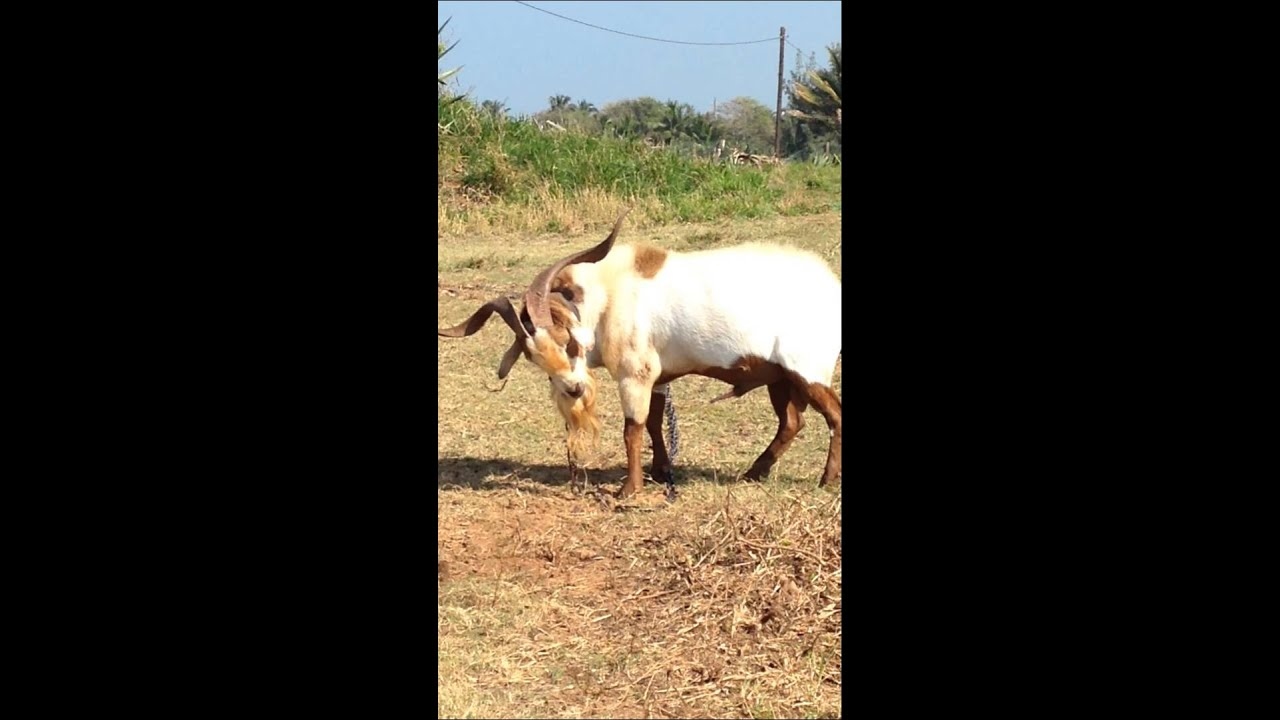 male-goats-peeing-on-their-heads-ladies