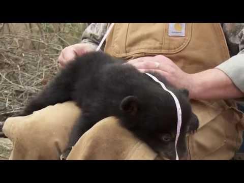 Black Bears in Arkansas's Gulf Coastal Plain