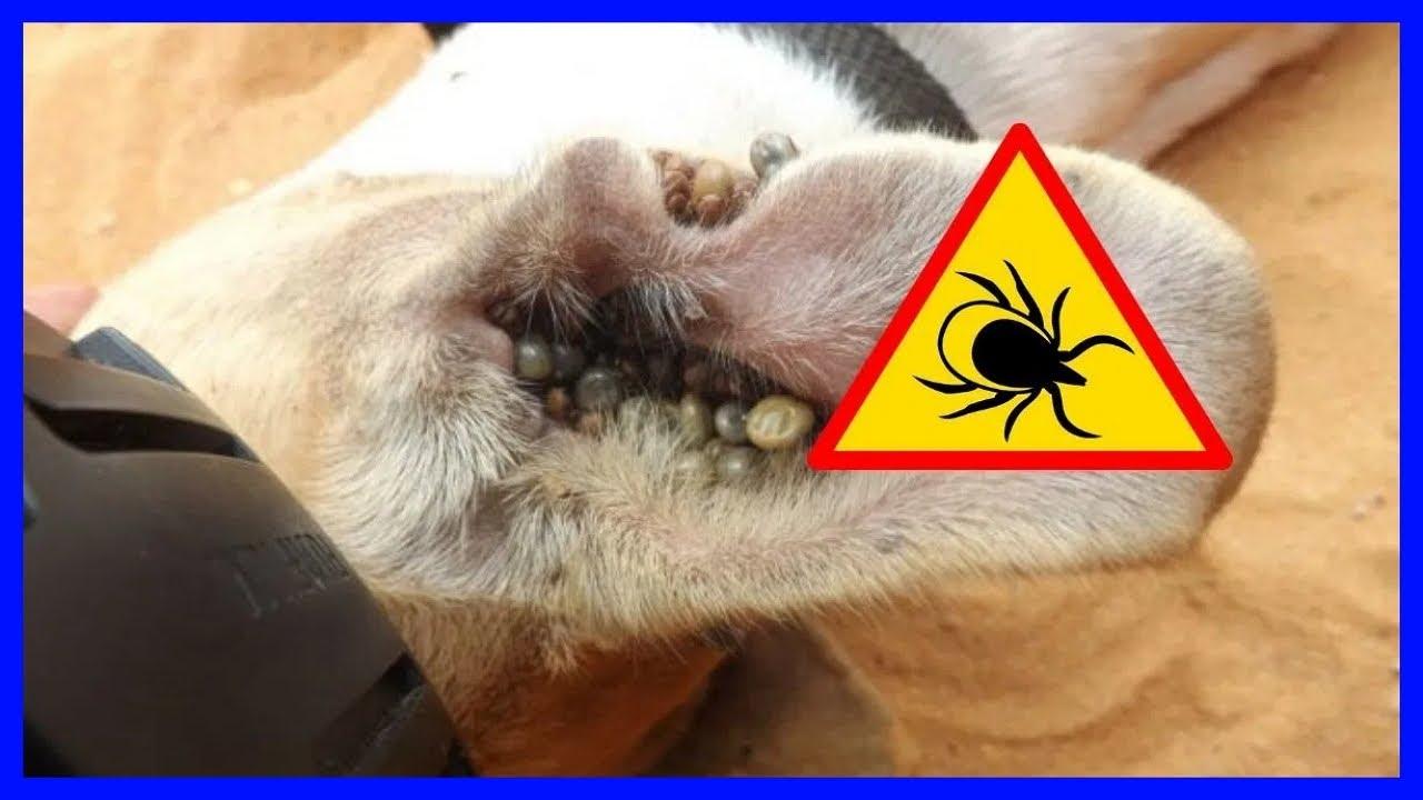 Ácaros que afectan a los perros