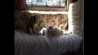 Jack Russell & Cavalier King Charles Spaniel Pups At Play