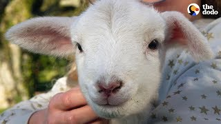 Hyper Little Lamb Is His Dad