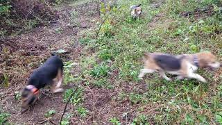 Skyview's beagles Running With Mike  & Jeff