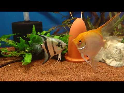 Angelfish Mating / Behaviour Before Spawn