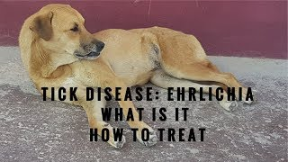 Ehrlichia in Dogs: What It Is and How To Treat