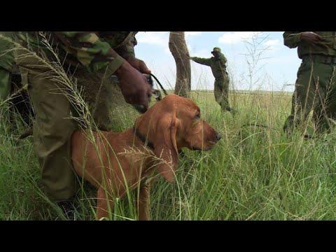 In Kenya, anti-poaching dogs are wildlife