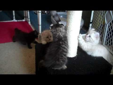 American Curl Kittens (6 weeks old)