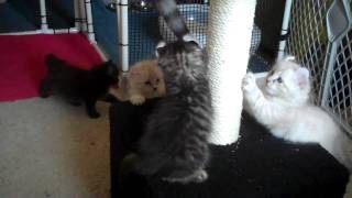 American Curl Kittens (6 weeks old)