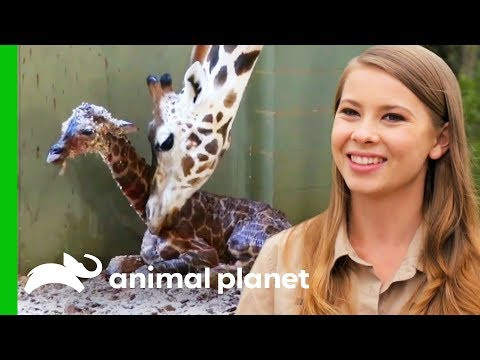 A New Baby Giraffe Arrives At Australia Zoo! | Crikey! It's The Irwins
