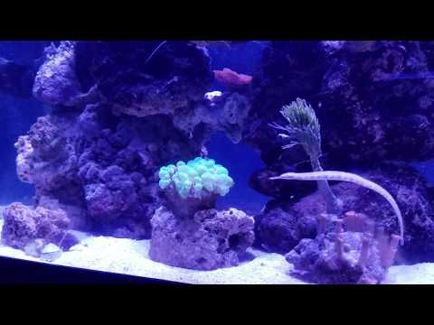 Alligator Pipefish Cruising Around My Reef Tank
