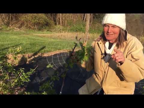 Blackberries And Black Raspberries: Berry Wonderful Plants