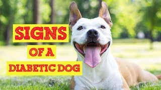 Is your Dog Diabetic? Signs Of a Diabetic Dog