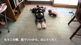 Komugi(miniature Schnauzer)& Azuki(bichon Frise) 47