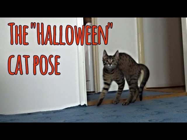 "Post-Halloween funny video: The ""Halloween"" cat pose"