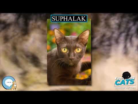 Suphalak 🐱🦁🐯 EVERYTHING CATS 🐯🦁🐱