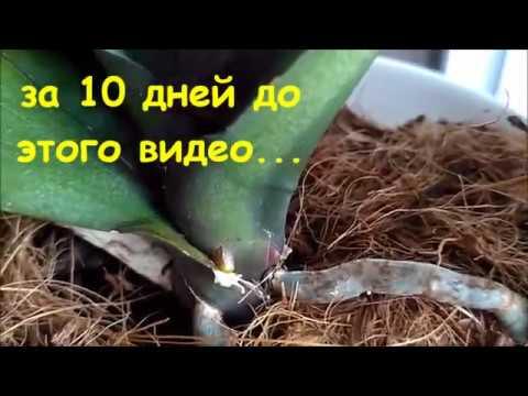 Как отлечить корень от цветоноса на орхидее фаленопсис и цветонос от нового роста на камбрии