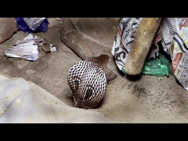 The poisonous cobra snake was discovered and rescued at 12 o'clock at night।