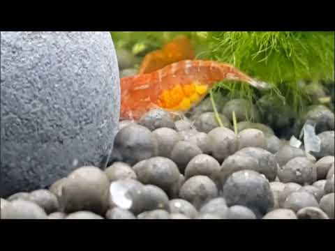 씨몽키(관상용새우)가 알을 낳는다? 【Amazon TV