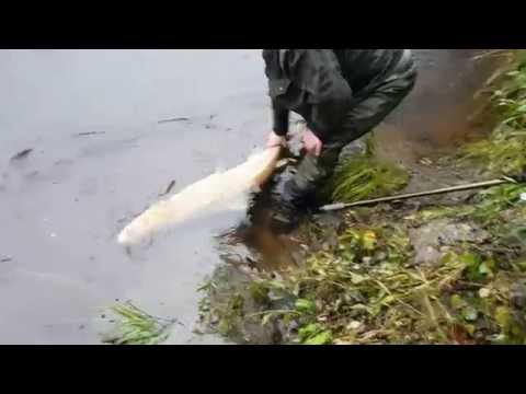 46.6in Salmon From Upper Lochy Catchment - R.Spean