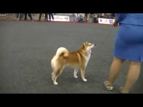 Shiba Inu In Europpean Dog Show 2016