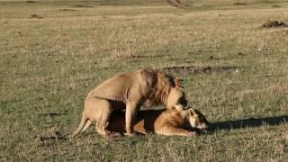 Львы. Лев и Львица. Африка. Кения. Africa. Kenya. Masai Mara. Сафари. Safari