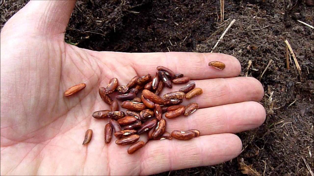 Semis de haricots verts youtube - Quand semer les haricots verts en pleine terre ...