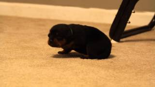 12 Day Old Rottweiler Puppy Walking - Male Rottweiler Puppy - Puppy Rottweiler Male