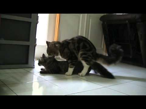 Maine Coon Kawin ( Maine Coon Matting) part 3