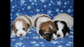 Coton Puppies For Sale - Inca 7/13/20