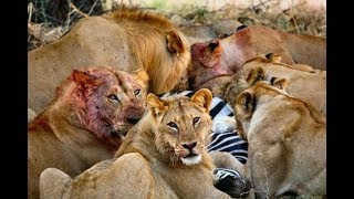 Animal Attacks - lions attack zebras and antelopes - Fight lions