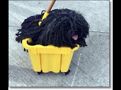 Adorable Hungarian Puli Goes as a Mop in Bucket for Halloween