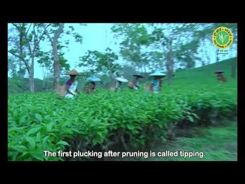 Best Practices On Tea Plucking - Tea Board Of India