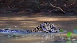 Jaguar Swimming Pantanal MT