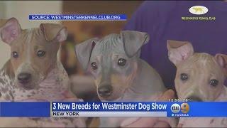 3 New Breeds Make Debut At Westminster Dog Show
