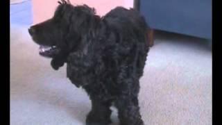 Jack - Black Cocker Spaniel