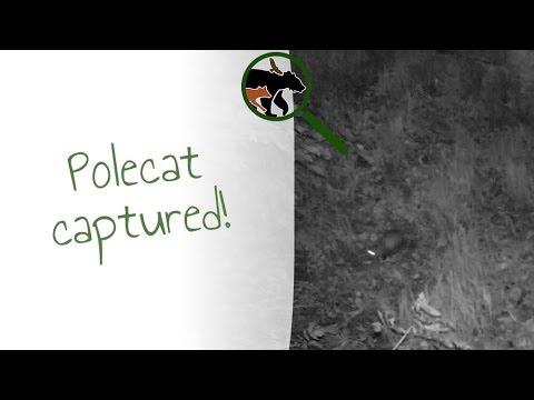 Polecat in Wales - Camera trap video