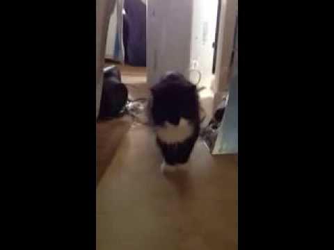Oldest cat in Bermuda-the legendary Mid Ocean Cat-Butch