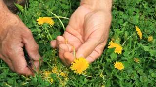 Dandelion Wine, Collecting Petals.avi